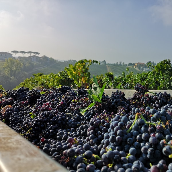 raccolta uva vendemmia Giorni