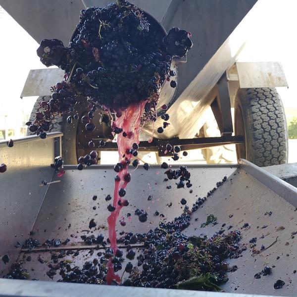 vendemmia azienda vitivinicola Giorni